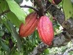 Images & Illustrations of cacao tree
