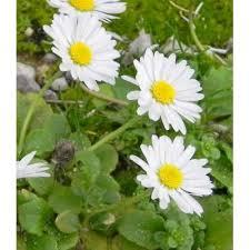 Genere Bellis - Flora Italiana