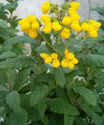 Calceolaria integrifolia - Wikipedia, la enciclopedia libre