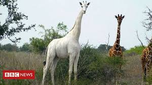 World's only known white <b>giraffe</b> fitted with tracker to deter poachers ...