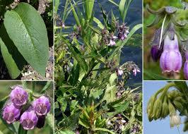 Symphytum officinale L. - Sistema informativo sulla flora vascolare ...