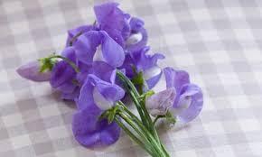 Lathyrus odoratus 'Flora Norton' (Sweet Pea)
