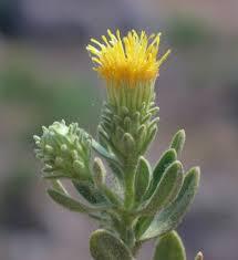 Chiliadenus bocconei