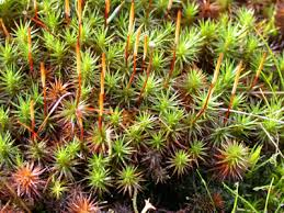 Image result for polytrichum moss gardens