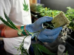 drug policy research center hot topic marijuana legalization rand your questions about marijuana legalization answered