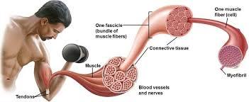 Principi brevissimi sul concetto Forza Muscolare