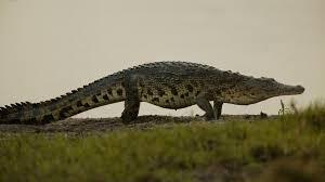 Hasil gambar untuk crocodile
