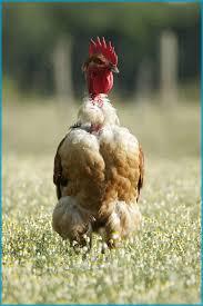 """Résultat de recherche d'images pour """"poulet fermier"""""""