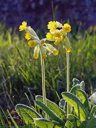 Cowslip, Primula veris - Flowers - NatureGate