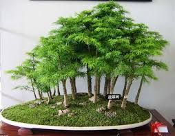 20 juniper bonsai tree seeds potted flowers office bonsai purify the air absorb harmful gases free bought bonsai tree