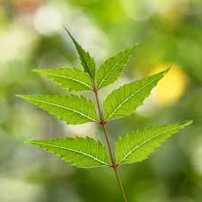 neem leaf essay tree growing better places to live page