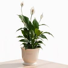 amazing indoor potted plants in singapore amazing office plants