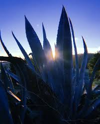 // November Day // #nature #campo #blue #agave #<b>cactus</b> ...