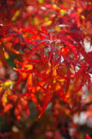 <b>Japanese</b> Maples Under 10 Feet A-M — Sunnyside Nursery