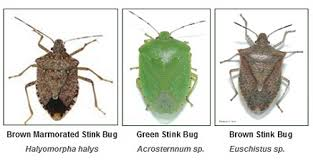 Image result for stink bug infestation 2015