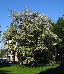 Robinia pseudoacacia - Wikipedia