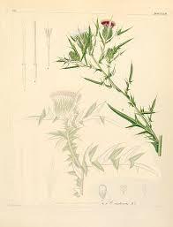 File:Cirsium italicum.jpg - Wikimedia Commons