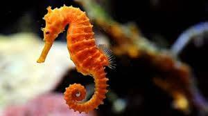 Image result for Seahorses are 'monogamous'