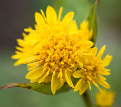 Solidago - Wikipedia