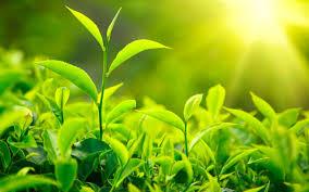 فوائد الشاى الاخضر للبشرة images?q=tbn:ANd9GcT