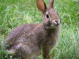 Rabbit, BUnny rabbit, Bunny, rabbit in grass