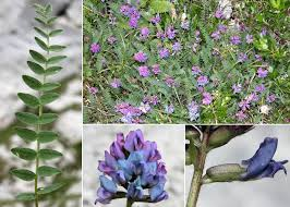 Oxytropis neglecta J.Gay ex Ten. - Portale sulla flora del Parco ...