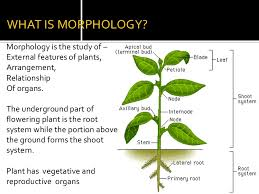 MORPHOLOGY OF FLOWERING PLANTS,notes for biology for medical entrance exam class 11 biology notes,