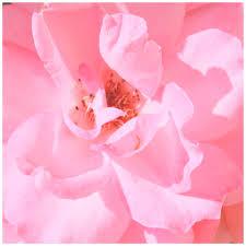 Bildergebnis für rosa Rose