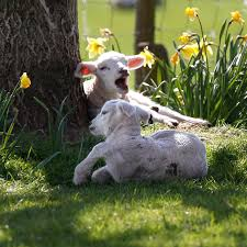 Image result for lambs and daffodils
