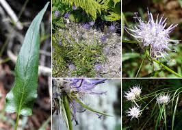 Phyteuma scheuchzeri All. subsp. columnae (Gaudin) Bech ...