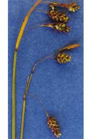 Plants Profile for Carex magellanica irrigua (boreal bog sedge)