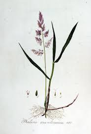 Phalaris arundinacea - Wikipedia