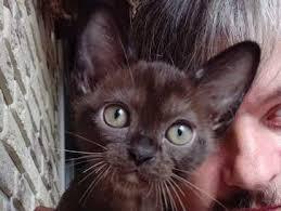 WILDANGEL Burmese&Bombay <b>kittens</b> for sale   Adopt your ...