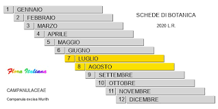 Campanula excisa [Campanula incisa] - Flora Italiana