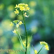 Kết quả hình ảnh cho hoa cải vàng