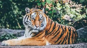 India now has nearly <b>70</b>% of the global <b>tiger</b> population, says Union ...