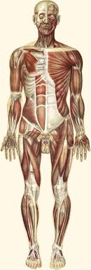 <b>Muscular system</b> - Wikipedia