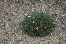 Armeria sardoa, flora di Sardegna