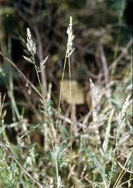 Online Virtual Flora of Wisconsin - Muhlenbergia frondosa