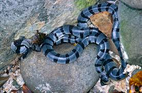 Yellow-lipped sea krait