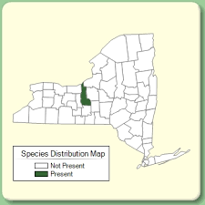 Telekia speciosa - Species Page - NYFA: New York Flora Atlas