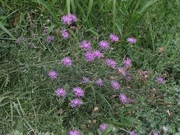 Centaurea stoebe - Michigan Flora