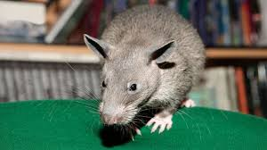 Earth - The world's largest rats are the size of small dogs - BBC
