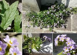 Heliotropium amplexicaule Vahl - Sistema informativo sulla flora ...
