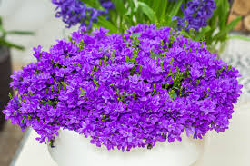 Everything You Need To Know About Campanula Flower Care ...