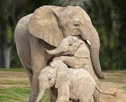 <b>Elephant</b> Cam | San Diego Zoo Safari Park