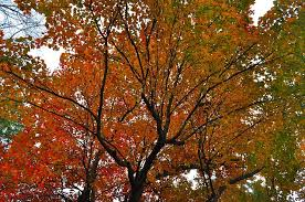 Image result for public domain image of a fall tree