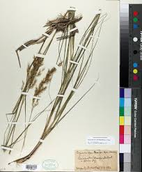 SEINet Portal Network - Achnatherum calamagrostis