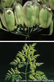 Peucedanum austriacum