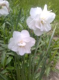 Imagini pentru narcisa flori